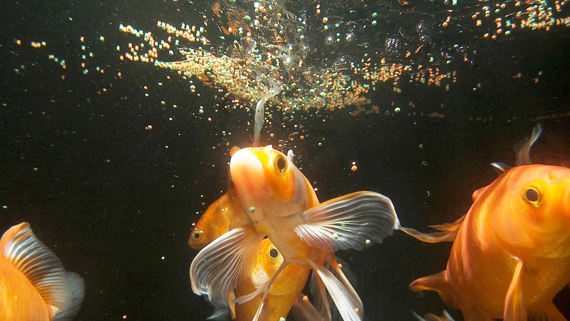 Koi golfish food fish care for Aquarium fish food